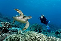 Diver watching a green sea turtle Chelonia mydas, reef top, Great Barrier Reef, a UNESCO World Heritage Site, Queensland, Cairns, Australia, Pacific O...