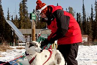 Young woman putting a harness on a sled dog, Alaskan Husky, harnessing, Yukon Territory, Canada