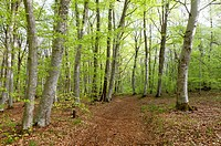 Forest of beech trees, Parc Naturel Regional des Volcans d´Auvergne, Auvergne Volcanoes Natural Regional Park, Puy de Dome, France, Europe