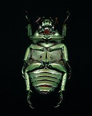 Underside of Green Beetle