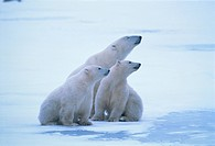 Canada, Manitoba, Churchill, Polar bear, mother with two cubs