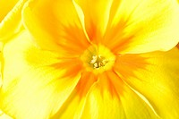 Detail of a yellow primula