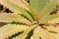 Detail of a succulent plant
