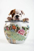 English Bulldog Puppy Inside a Vase