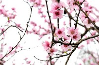 Cherry Blossoms on pink