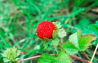 Wild strawberry in forest on a green background
