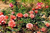beautiful bush of red roses
