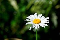White chamomile in field