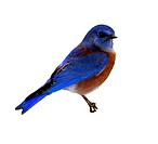 Western Bluebird, includes clipping path