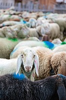 Transhumance - the great sheep trek across the main alpine crest in the Otztal Alps between South Tyrol, Italy, and North Tyrol, Austria  This very sp...