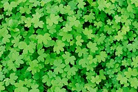 Yellow Wood_Sorrel Oxalis dillenii, fresh leaves in spring, Dinero, Lake Corpus Christi, South Texas, USA
