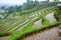Rice terraces in Bali Island, Indonesia