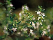 Satureja hortensis, Savory, Summer savory, White subject