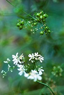 Coriandrum sativum, Coriander, White subject, Green background.