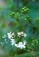 Coriandrum sativum, Coriander, White subject, Green background.