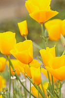 Eschscholzia californica, Poppy, Californian poppy, Orange subject.
