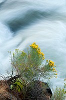 Rubber rabbitbrush, Deschutes Wild and Scenic River, Deschutes River Trail, Deschutes National Forest, Oregon, USA