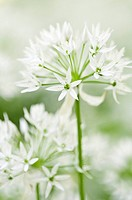 Allium ursinum, Wild garlic, Ramsons, White subject.
