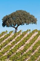 Vitis vinifera, Grapevine, Green subject.