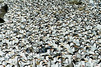 Colony of Royal Terns