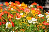 Poppy flowers, Italy, Alto Adige, South Tyrol, Meran