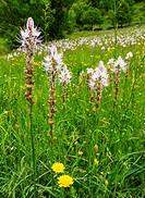 WHITE ASPHOKEL Asphodelus albusFuentes del Narcea, Degaña e Ibias Natural Park, Asturias, Spain, Europe.