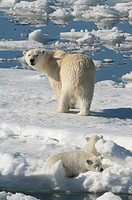 Female Polar bear Ursus maritimus with twin cubs, Svalbard Archipelago, Barents Sea, Norway