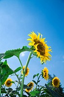 Beautiful sunflowers growing in the field