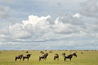 Tanzania, Serengeti National Park, Wildebeests Connochaetes Taurinus migrating