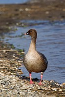 Pink_footed goose Anser brachyrhynchus portrait, Germany