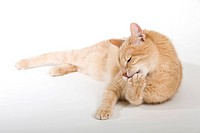 Domestic Cat. Red individual lying while licking its front paw