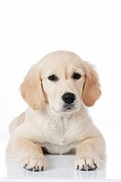 Golden Retriever. Puppy lying. Studio picture against a white background