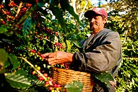 Nicaragua, Dipilto, Farmer collecting coffee in the mountainous Nueva Segovia