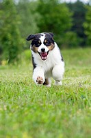 Australian Shepherd. Tricoloured puppy running on grass