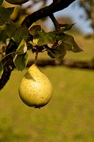 Pear hanging on tree