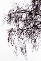 Birch tree branches in winter, waving in the wind