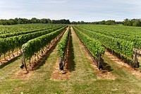 Vineyard in the Hamptons
