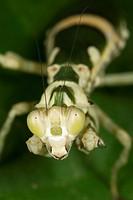 Praying mantis. Image taken at Kampung Singai, Sarawak, Malaysia.