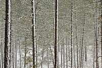 Ponderosa pine forest in spring blizzard, near the Disautel summit, Disautel, Colville Indian Reservation, Wasington, USA