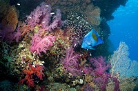 Coral reef scenery with a Yellowbar or Arabian angelfish Pomacanthus maculosus, soft corals Dendronephthya sp, and pygmy sweepers Parapriacanthus guen...
