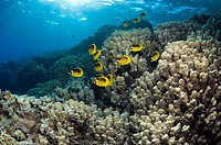 Red Sea raccoon butterflyfish Chaetodon fasciatus over coral reef with shafts of sun light  Egypt, Red Sea
