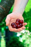 A hand of a gardener showing harvested cherries