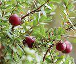 Vaccinium oxycoccos, Cranberry