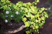 Brachycome iberidifolia, Daisy