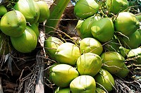 Pile of fresh coconut fruits on the branch