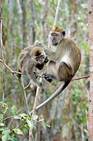 Long-tailed Macaques Macaca fascicularis, grooming, Tanjung Puting National Park, Province Kalimantan, Borneo, Indonesia