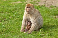 Barbary macaque Macaca sylvanus with young, Serengeti Park, Hodenhagen, Lower Saxony, Germany, Europe