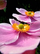 Close Up Japanese Anemone