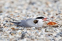 Common tern (Sterna hirundo), with a chick, Texel, the Netherlands, Europe