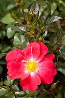 Floribunda, rose (Rosa), Pink Hedge, Westfalenpark, Dortmund, North Rhine-Westphalia, Germany, Europe